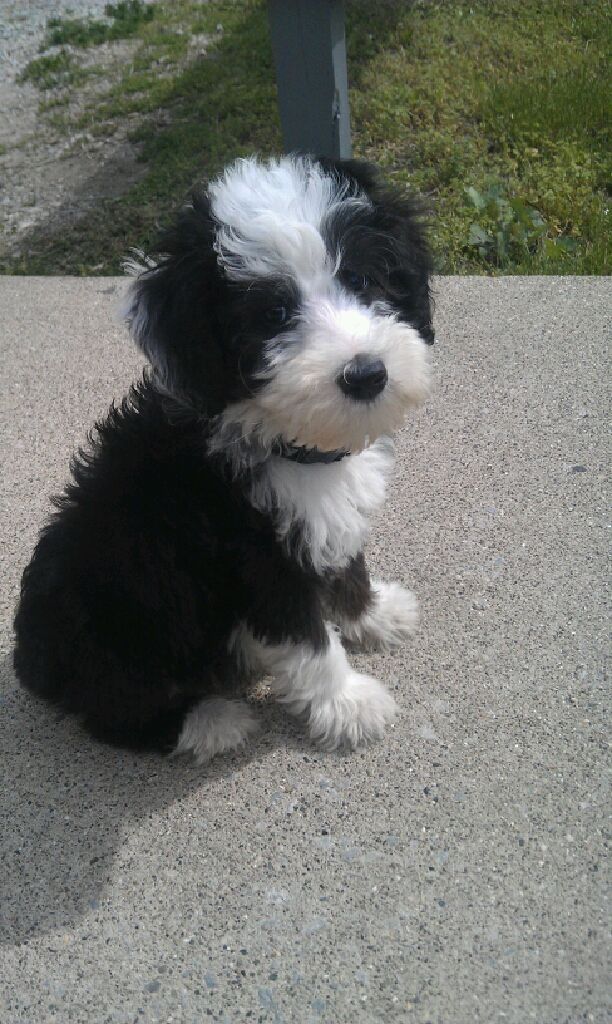 Sheep dog/ poodle = sheepadoodle