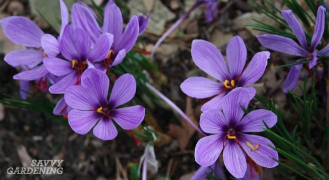 Saffron is, by weight, the most expensive spice in the world. Learn how to grow and harvest your own saffron crocus.