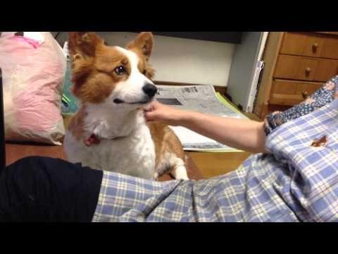 Corgi Demands Attention | The Animal Rescue Site Blog