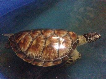 Turtle sanctuary, Sanur, Bali