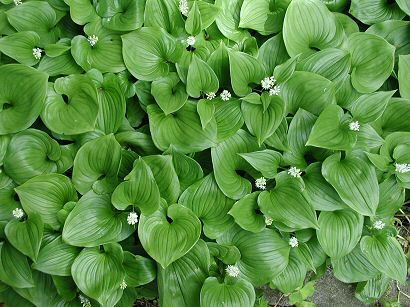 False Lily-of-the-Valley, Maianthemum dilatatum    groundcover for side yard