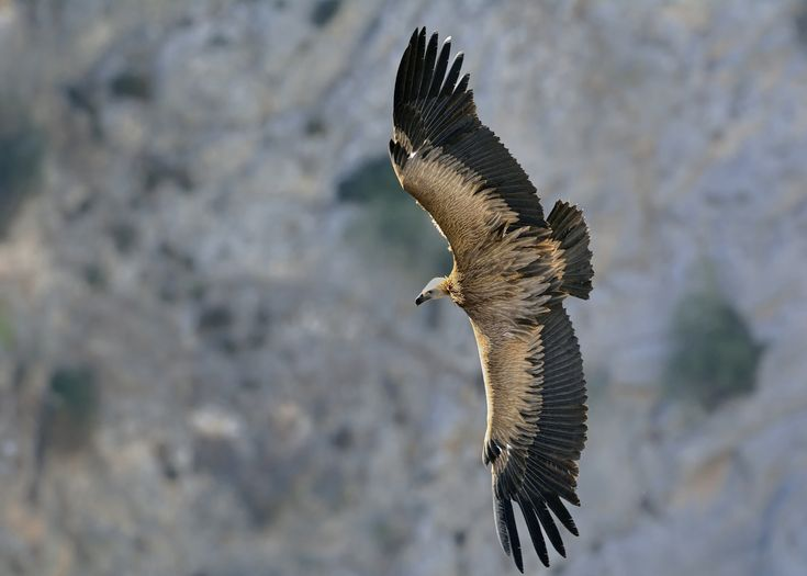 Griffon Vulture showing its back - Thank you all for paying attention on my work, your likes and your comments