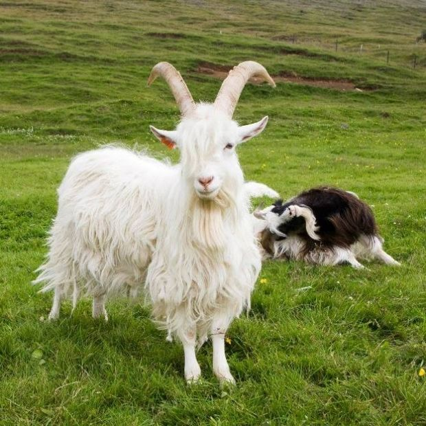 #goatvet is pleased to read the government of Iceland is now supporting its unique goat breed - photo is of an Icelandic goat Casanova at Háafell farm
