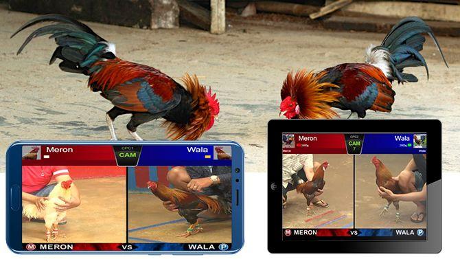 Hướng dẫn xem và chơi đá gà online trên điện thoại | Gà, Điện thoại