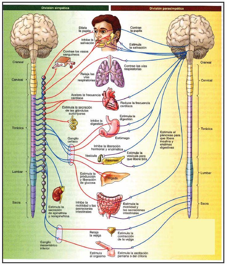 El sistema nervioso autónomo es el sistema motor que regula, ajusta y coordina funciones y actividades de los órganos (vísceras) del cuerpo
