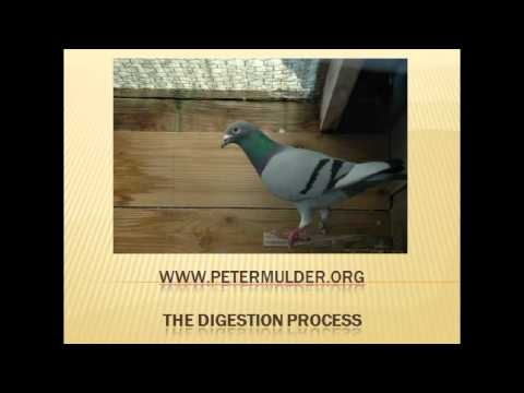 Digestion of food Technique of Homing Pigeons #pigeon #racing_pigeon #racing_pigeons #racing_pigeons #doves #pigeon_racing #racing_pigeons #homing_pigeons #homing_pigeon