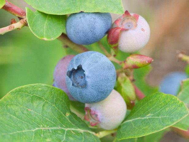U0027Herbertu0027 Produces Medium Blueberries That Ripen In Late June And Are Among  The Largest