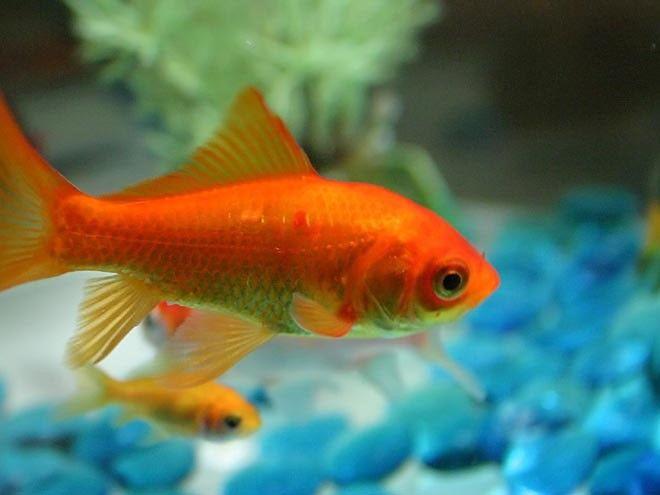Los peces distinguen entre dos composiciones musicales diferentes.