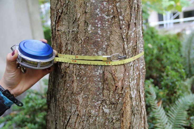 Come conoscere l'età di un albero Oltre al metodo che ci insegnano alle scuole elementari, segarlo a metà per contare e po contare gli anelli interni al tronco, fortunatamente ci sono anche altri metodi. Uno di questi è contare gli s #sapere #conoscere #età #albero