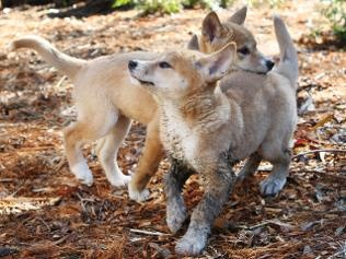Dingos on Fraser Island...scary little things!