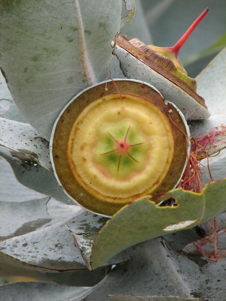 Eucalyptus macrocarpa,   Pangarinda Arboretum