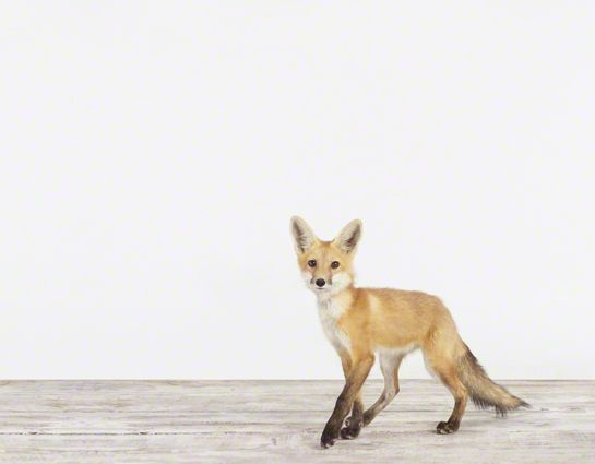 2014 #Nursery Trend: Move over owls, the fox may take over as the most popular nursery animal!: Animal Art, Animal Photography, Fox Theanimalprintshop Com, Fox Baby, Adorable Baby, Baby Foxes, Baby Animals, Baby Foxxy