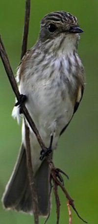 Spotted Flycatcher.