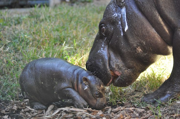 The Louisville Zoo is celebrating the birth of a male pygmy hippo born in the early hours of the morning on Aug. 28.
