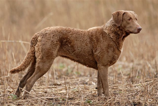 Chesapeake Bay Retriever Colors | nicknames chessie cbr chesapeake country of origin united states of ...