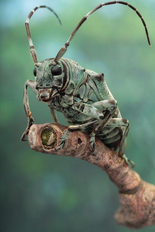 escarabajo cerambícido (ca 25 mm de largo, Coleoptera, Lamiinae, Cerambycidae, ID: ...) de la densa selva tropical de Yangambi (RD Congo, noviembre de 2013, etanol preservado)
