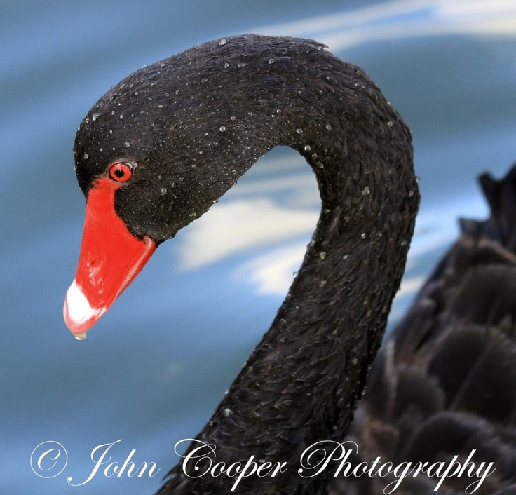 The Black Swan is symbolic for Maroochydore, a major centre on the Sunshien Coast. It comes from the Yuggera language word 'Muru-kutchi', meaning red-bill: the name of the black swan, commonly seen in the area. And how beautiful & majestic are they!!!