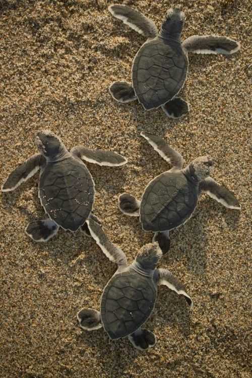 """Baby Sea Turtles """"Get out of my way!"""" ~ Photography byChris Johnson"""
