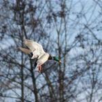 Cupping Mallard ready to hunt at Wiley Creek Duck Preserve Waleska, GA Near @2150 Fincher Road Canton, GA