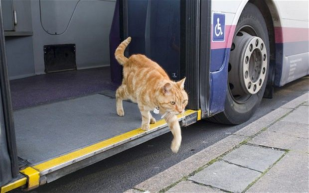 A pet cat named Dodger has taken to hopping on and off the public transport at the bus station near his home in England.  The 15-year-old Tom sits on bemused passengers' laps as the bus makes up to 10 mile round trips.  Bus drivers often bring him food and know which stop to let him off at the end of his day.