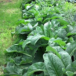 Don't waste all that comfrey this fall. Turn it into the best organic fertilizer you can buy! data-pin-do=