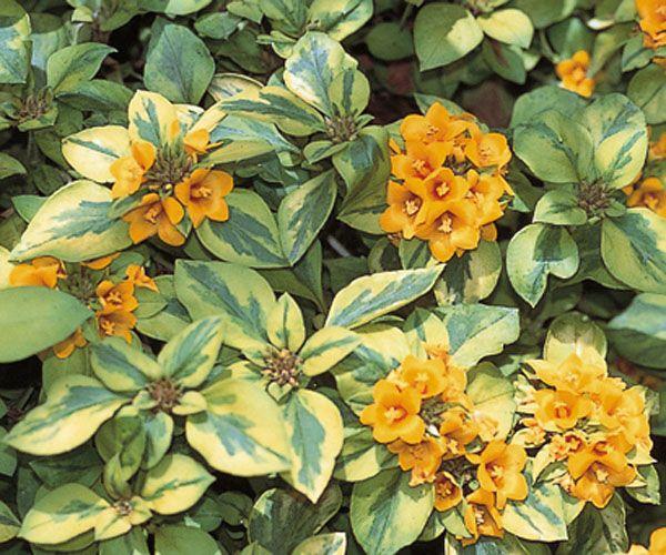 zone 7 evergreen shrubs congestiflora walkabout sunset annual