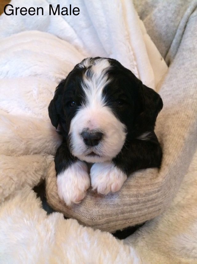Green Collar Male Bernedoodle Puppy Bernedoodle Puppies