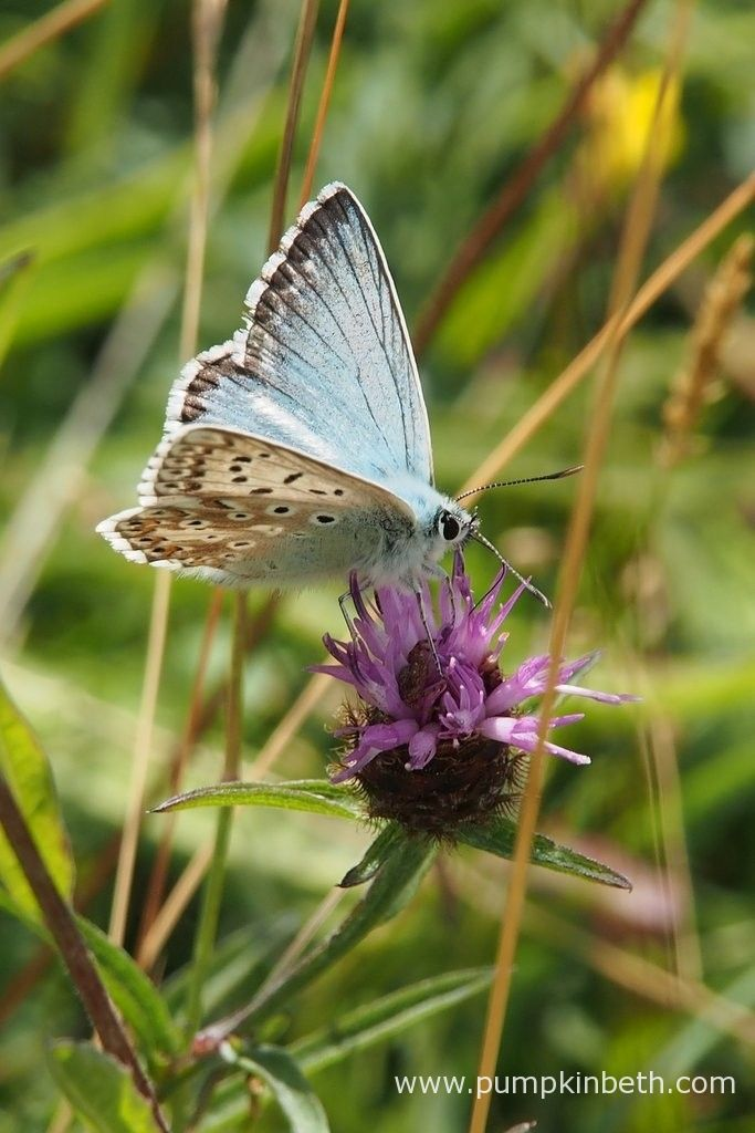 A male Chalk Hill Blue Butterfly, or Polyommatus coridon, at Pewley Down Nature Reserve in Guildford.