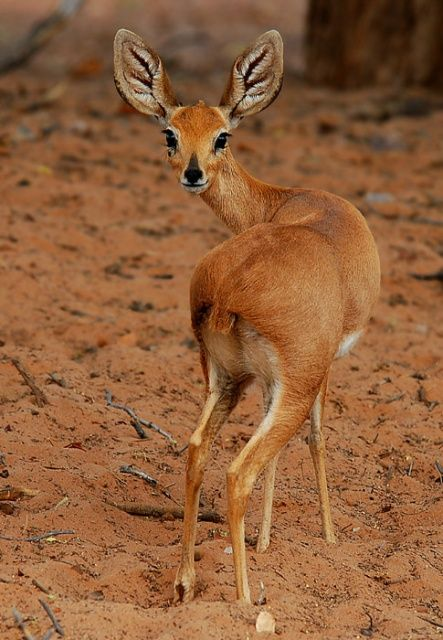 Steenbok Antelope Ombonde Riverbed Northwest Namibia Africa By Bruce Muirhead