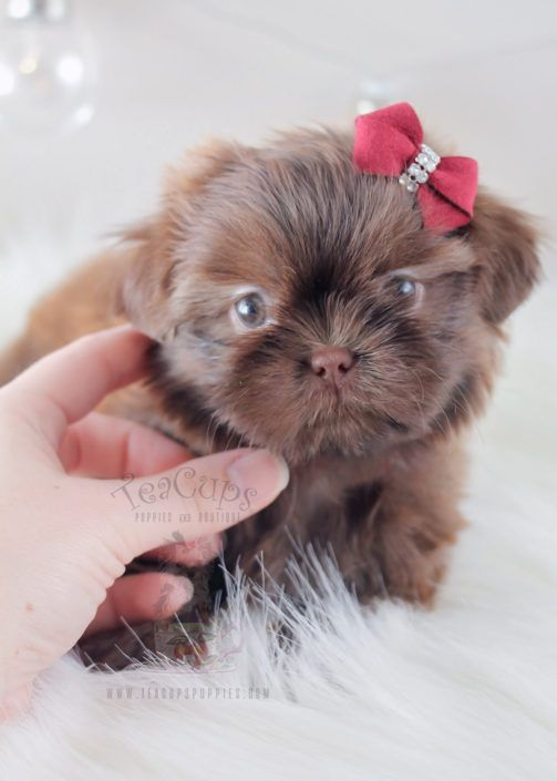 Beautiful Chocolate Shih Tzu Puppy By Teacupspuppies Com Shihtzu Puppy Puppies Puppyboutique Puppies And Kitties Teacup Puppies Shih Tzu Puppy