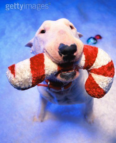 Christmas #Bull #Terrier and candy cane.