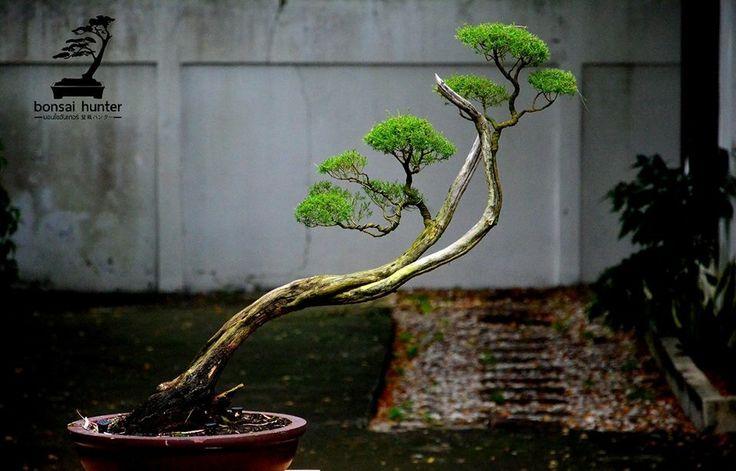 pin von sven b auf bonsai pinterest. Black Bedroom Furniture Sets. Home Design Ideas