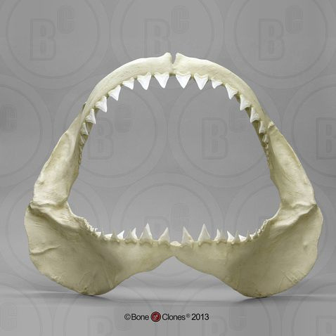 Great White Shark Jaw - Bone Clones, Inc. - Osteological Reproductions