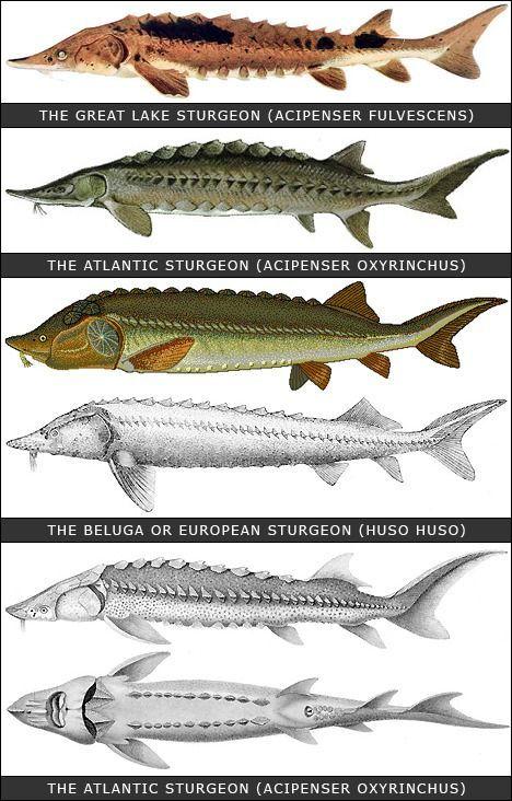 Viza Great Sturgeon In 2020 Fish Sturgeon Fish Sturgeon