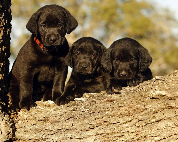 black labrador pictures 4145