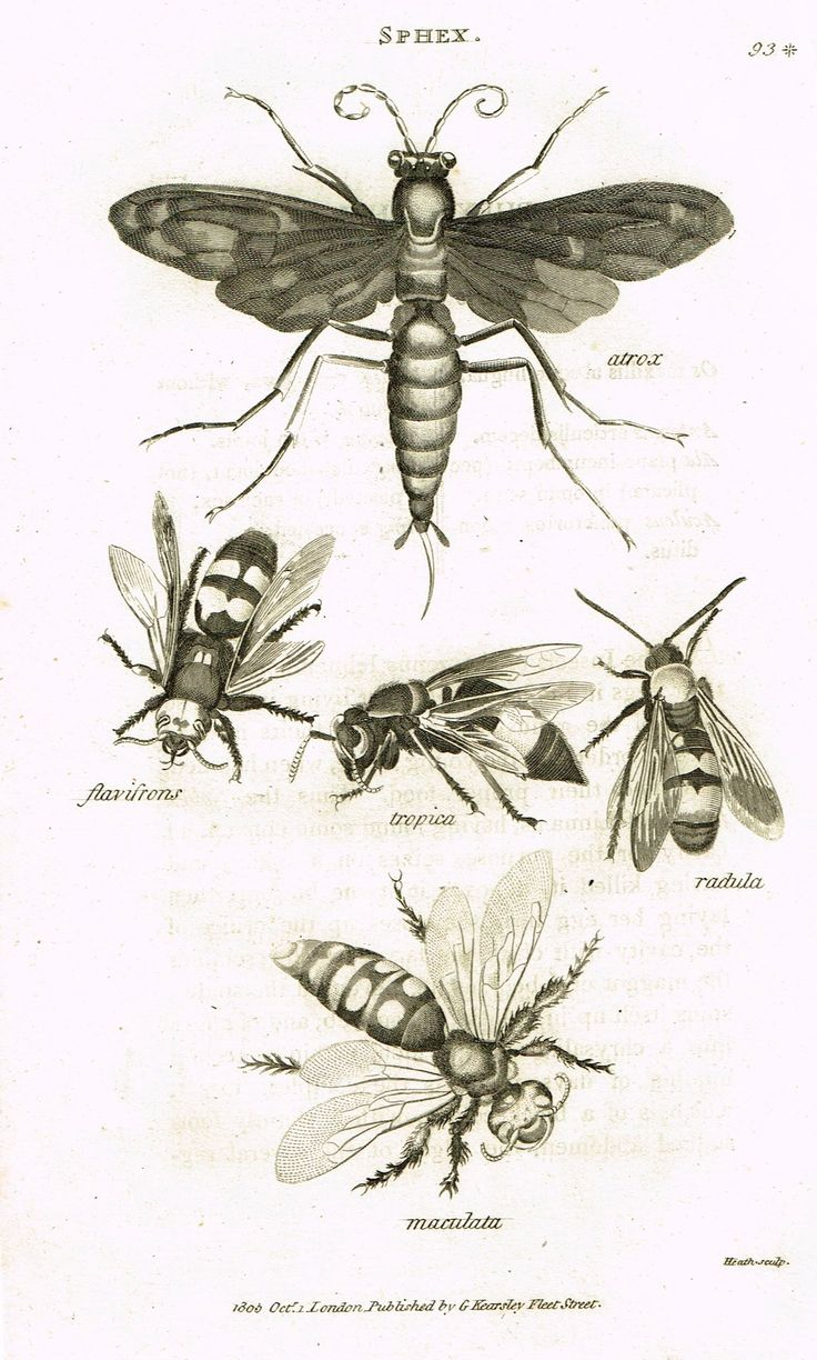 """Shaw's General Zoology - (Insects) - """"SPHEX - DIGGER WASP """" - Copper Engraving - 1805"""