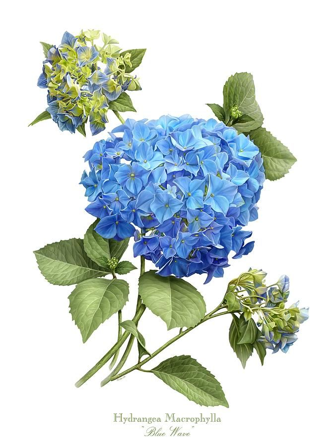 http://images.fineartamerica.com/images-medium-large-5/hydrangea-blue-wave-marilynn-flynn.jpg
