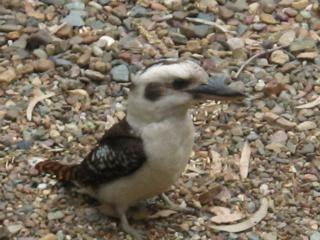Our breakfast partner - the Australian Kingfisher or Kookaburra