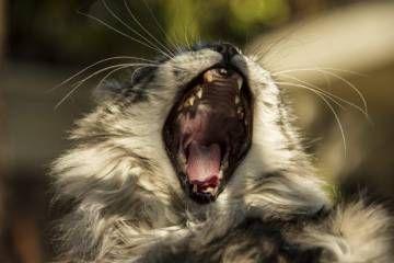 """""""A única diferença significativa entre o gato doméstico e os grandes felinos é o tamanho"""", afirmam Beverly e Dereck Joubert, reconhecidos especialistas mundiais em grandes felinos e defensores de sua preservação. Nesse caso, o tamanho não é questão irrelevante, acrescentam, depois de uma pausa dramática: """"Se teu gato fosse do tamanho de um leão, ele te devoraria""""."""