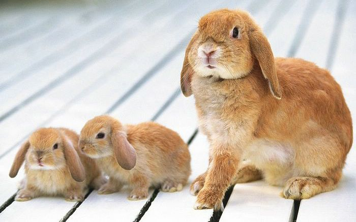 A Mother Lop Rabbit With Her Babies Http Rabbithutchzone