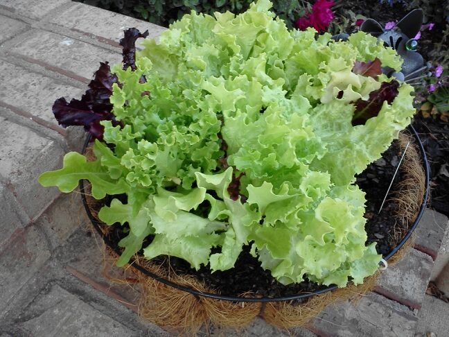 17 best images about salad bowl gardening on pinterest gardens patio and planters - Salads can grow pots eat fresh ...