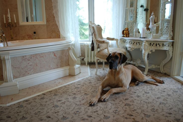 Our great dane Julie in the bathroom