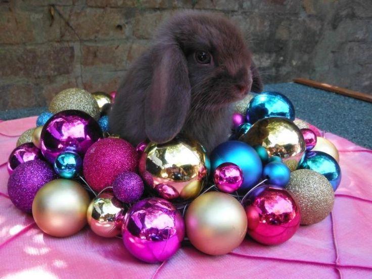sydney rabbit for sale - Google Search