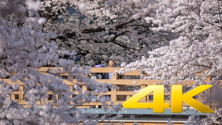 Tokyo Best Sakura Spot : Shakujii Kawa - 石神井川 - 4K Ultra HD