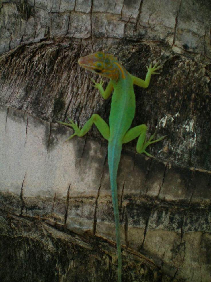 Anolis -  Photos de vacances de Antilles Location #Guadeloupe