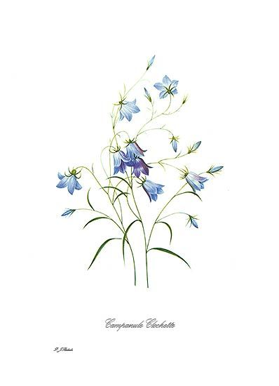 bluebells botanical - Google Search