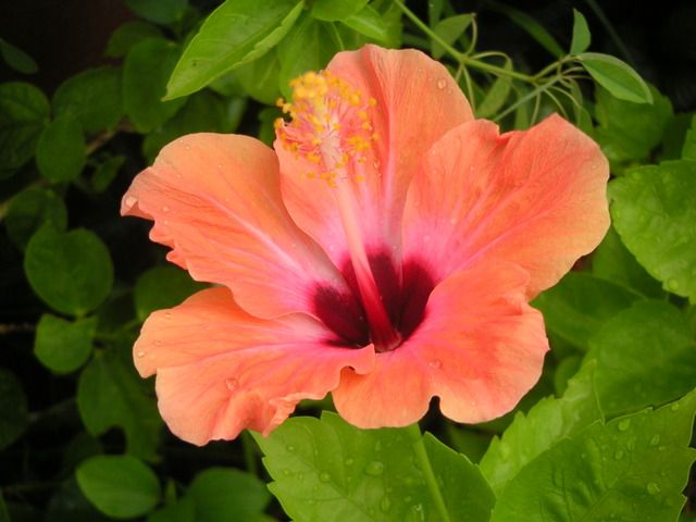 L'Hibiscus est un arbuste aux fleurs en forme de corolle qui se décline sous plusieurs formes. Outre le rustique althéa, on peut également le retrouver en plante d'intérieur avec l'hibiscus rosa sinensis, autrement plus connu sous le nom de rose de Chine. Ou même dans son verre, avec l'hibiscus sabdariffa (oseille de Guinée), à la base même de la préparation du bissap!