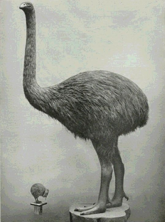Taxidermied Indigenous New Zealand Moa (now extinct) and native Kiwi bird.