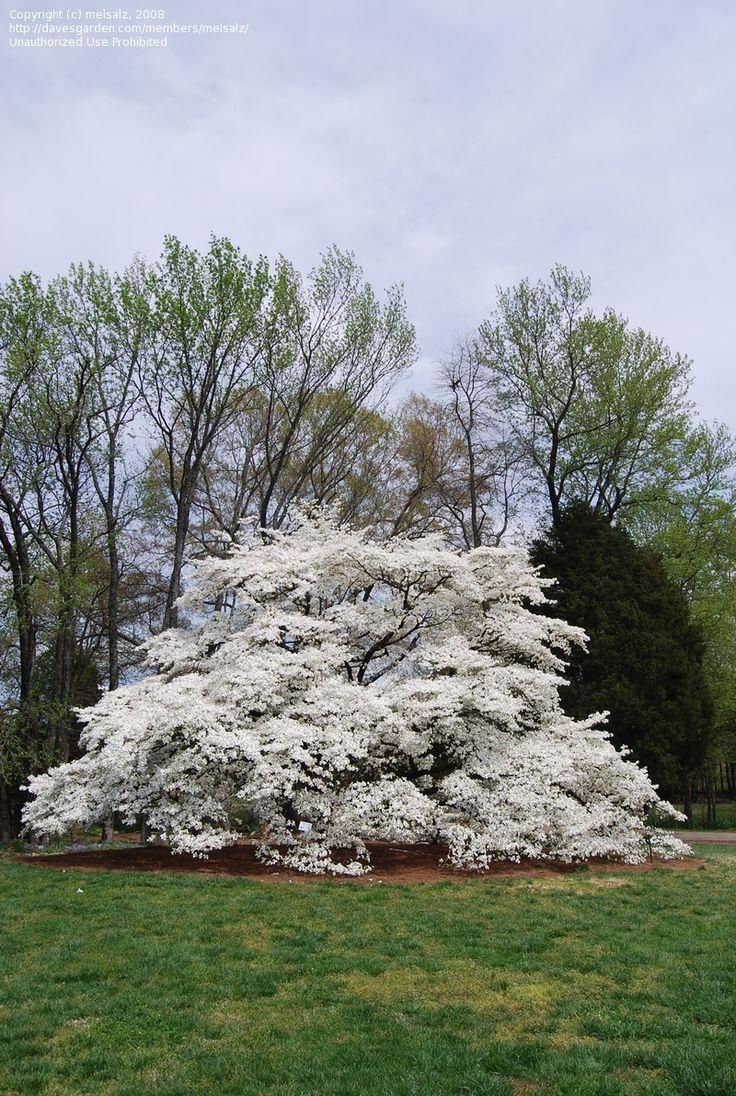 Flowering Dogwood   Flowering Shrubs, Tree's and ...