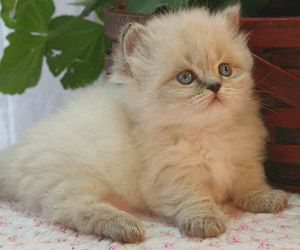 Des Moines IA Munchkin Cats Des Moines IA Persian Cats Des Moines IA Himmie St Louis Himalayan Kittens